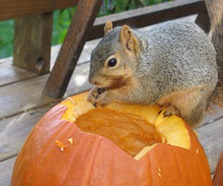 squirrel with pumpkin