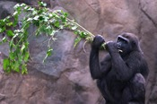 Gorilla with Browse - credit Christina Demetrio
